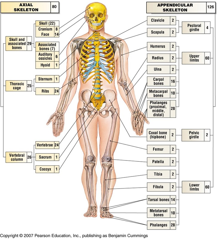 Axial And Appendicular Skeleton Tucci Kinesiology