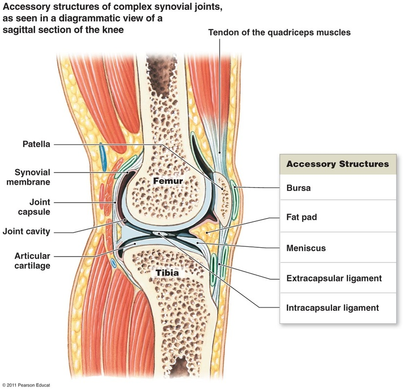 Joint Capsule And Types Of Synovial Joints Tucci Kinesiology