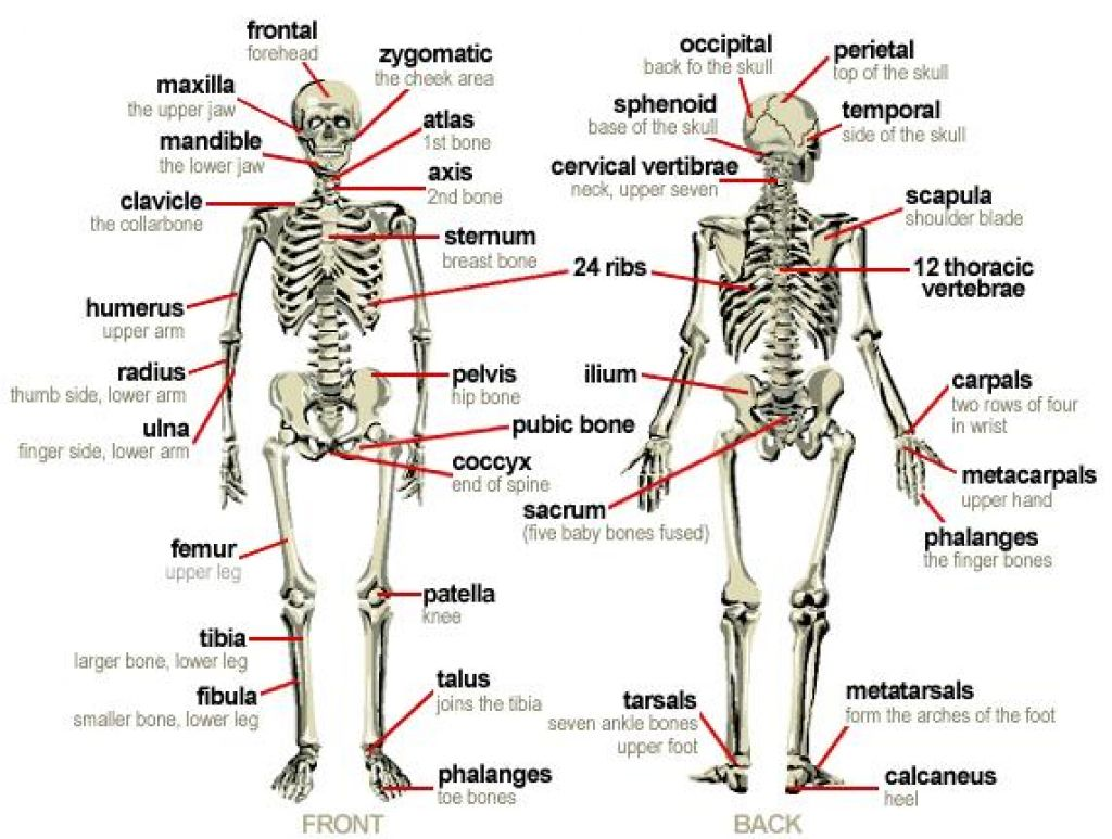 kinesiology diagram major bones of kinesiology