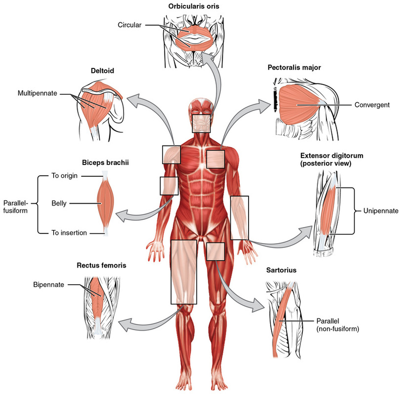 Muscle Fiber Arrangement - TUCCI KINESIOLOGY