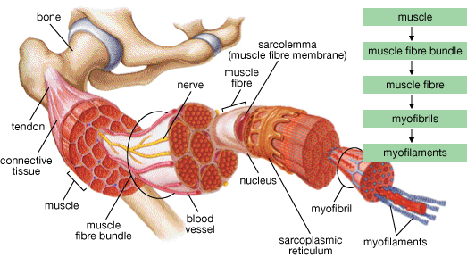 3 connective layers of skeletal muscle - tucci kinesiology, Muscles